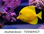 Zebrasoma Flavescens   Yellow...