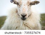 Portrait Of A Welsh Sheep...