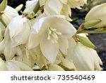 Yucca In Garden With White Bel...