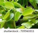 a bright green carnivorous...   Shutterstock . vector #735563311