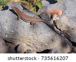 tenerife lizard basking on a... | Shutterstock . vector #735616207