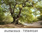 Ancient Mighty Oak Tree With...