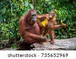 mother orangutan and cub.... | Shutterstock . vector #735652969