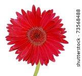 A Red Gerbera Daisy