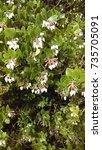 Small photo of White Lanterns Manzanita Flower