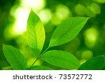 Vibrant Green Leaves In Spring