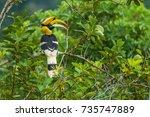 Great Hornbill Holing Branch O...