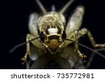 Small photo of House cricket (Acheta domestica) with reflection on black background