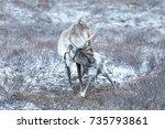 portrait of a baby reindeer... | Shutterstock . vector #735793861