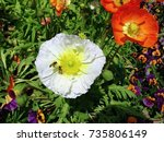 Two Poppies In A Flower Bed O...