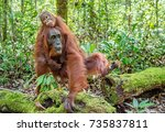 on a mum s back. baby orangutan ... | Shutterstock . vector #735837811
