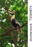 A Great Pied Hornbill Sits On ...