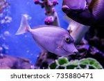 Small photo of Naso Lituratus Acanthuridae tropical fish Orangespine unicornfish