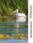white pelican on water in summer | Shutterstock . vector #73592101