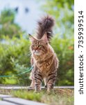 Black Tabby Maine Coon Cat Wit...