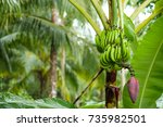 banana tree with a bunch of... | Shutterstock . vector #735982501
