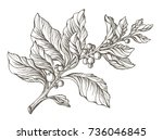realistic mate branch with... | Shutterstock . vector #736046845