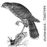 accipiter,america,american,ancient,antique,art,artwork,avian,beak,bird,black,branch,drawing,engraved,engraving