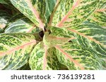 Small photo of aglaonema commutatum ornamental plants are beautiful leaves is a genus of plants. Currently, the species has been modified to be beautifully cultivated for beauty and a sacred wood.