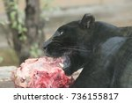Black Panther Eating Meat. Nic...