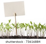 Seedlings Of Tomato And Pointe...