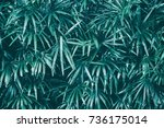 tropical leaf texture... | Shutterstock . vector #736175014