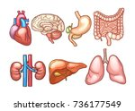 human organs in cartoon style.... | Shutterstock .eps vector #736177549