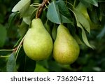 Growing Pears On A Branch