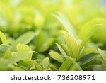 closeup nature view of green... | Shutterstock . vector #736208971