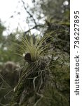 Small photo of air plant