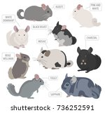 chinchilla breeds icon set flat ... | Shutterstock .eps vector #736252591