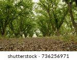 pecan grove | Shutterstock . vector #736256971