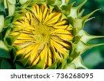 Close Up On Sunflower Bud