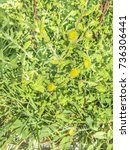 Small photo of Common fleabane or cat grass, Pulicaria dysenterica, growing in Galicia, Spain