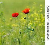 Closeup Of Red Poppy On Cereal...