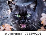 Stock photo angry cat 736399201