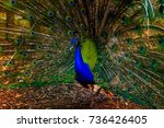 Small photo of Peacock in Mauritius. The peafowl include three species of birds in the genera Pavo and Afropavo of the Phasianidae family, the pheasants and their allies.