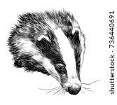 badger sketch head vector... | Shutterstock .eps vector #736440691