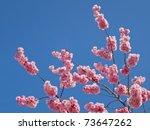 Colorful pink spring tree blossom against a blue sky. - stock photo