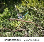 an inquisitive juvenile male ... | Shutterstock . vector #736487311