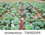 cabbage vegetable garden of...   Shutterstock . vector #736502359