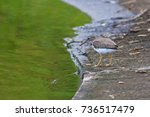 Small photo of Portrait of Spotted Sandpiper (Actitis macularius) foraging on the lagoon edge
