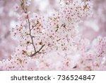 spring cherry blossom in full... | Shutterstock . vector #736524847