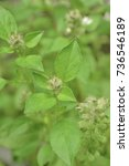 Small photo of A herbaceous plant in the genus Basil - basil. Basil is small, light color, fragile, easy to bite and wither easier. Common name is hoary basil (hoary means gray hair)