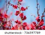 flowers plum blossoming in...   Shutterstock . vector #736597789