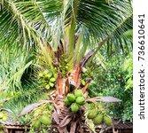 green coconut  in the garden.   Shutterstock . vector #736610641