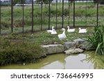 Cute White Ducklings Looking...