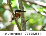 american pygmy kingfisher.... | Shutterstock . vector #736652554