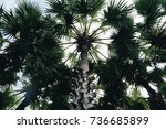 Small photo of Oil Palm trees (African Oil Palm, Elaeis guineensis Jacq)