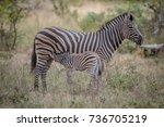 baby zebra suckling from his... | Shutterstock . vector #736705219